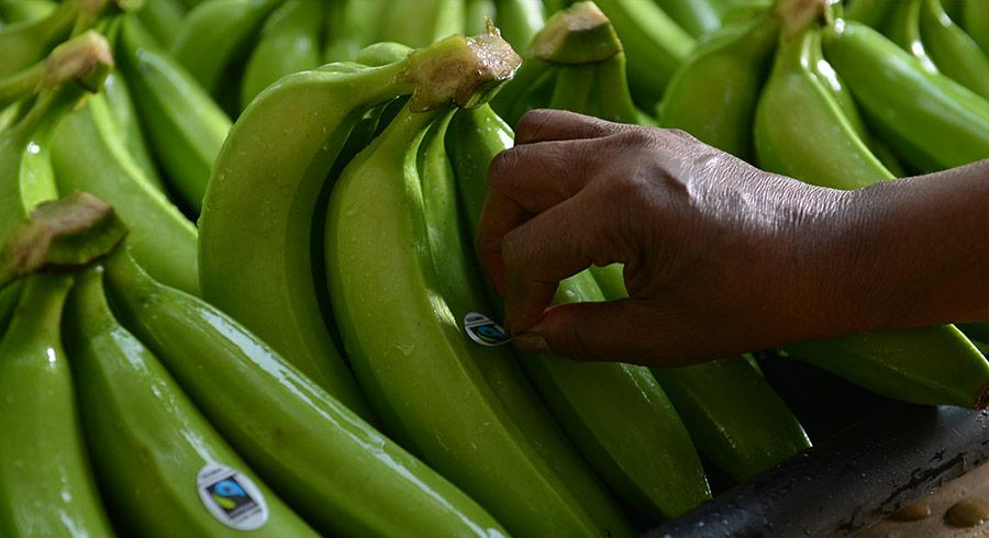 Banano sostenible, sustainable banana, bananeros, Agricultura Sostenible